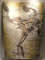 Caudipteryx fossil