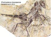 Eosinopteryx fossil