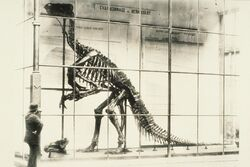 The very first specimen to be assembled was the 'Iguanodon bernissartensis'. It was put on display in the inner courtyard of the former Nassau Hotel in 1883. It was kept in a glass case to protect it from the bad weather.
