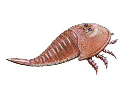 Hibbertopterus scouleri