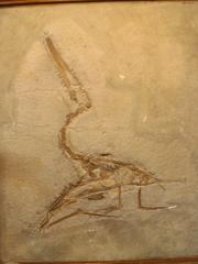 0Aerodactylus2