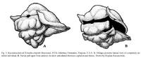 Trinodus elspethi