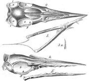 Ornithocephalus Münsteri holotype illustrated in 1851