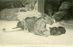 Берберийский лев
