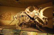 Torosaurus MPM VP6841