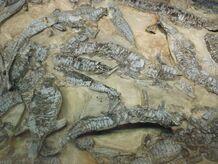 Aetosaurus ferratus