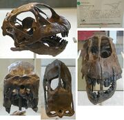 Camarasaurus-skull AMNH 467