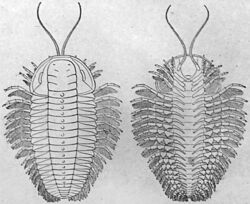 Reconstruction of Triarthrus eatoni