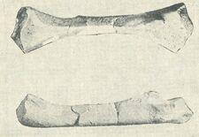 Правая бедренная кость платиопозавра