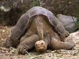 Абигдонская слоновая черепаха