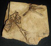 1Sordes pilosus skeleton