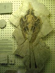 Confuciusornis fossil 02