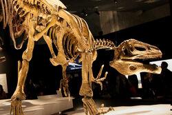 Megaraptor-skelet-m