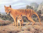 Thylacinus-cynocephalus 4