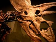 Titanoceratops ouranos