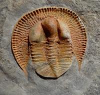 Declivolithus alfredi