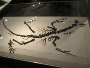 Fukuivenator fossil