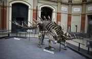 Kentrosaurus skeleton naturkunde
