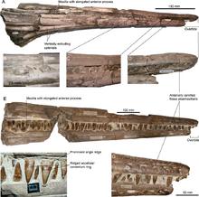 Pervushovisaurus campylodon rostra