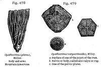Циатокринусы