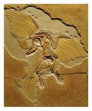 Археоптерикс скелет