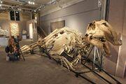 Prosaurolophus fossil 01