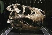 Tyrannosaurus Trystan 02