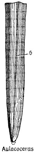 Авлакоцерас
