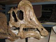 Hypacrosaurus skull