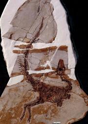 Sinosauropteryx fossils 02