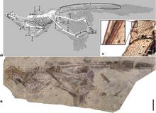 Changyuraptor yangi skeleton
