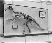 Edmontosaurus (USNM 2414) 1911