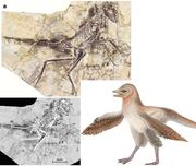 Eosinopteryx brevipenna-