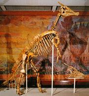 Saurolophus angustirostris (Музей им Ю. А. Орлова)