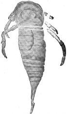 Drepanopterus pentlandicus