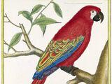 Гваделупский ара