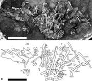 1Sericipterus-wucaiwanensis-gen-et-sp-nov-IVPP-V14725-A-photograph-B-line