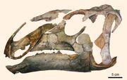 Eotrachodon-orientalis skull
