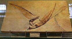 Rhamphorhynchus phyllurus Marsh 1882