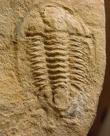Mexicaspis radiatus 1