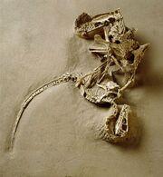 Velociraptor fossils 02