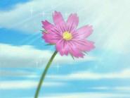 Cosmos florece