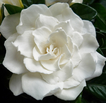 Image white gardenia flowerg pretty little liars wiki white gardenia flowerg mightylinksfo