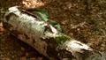 1x5RexhidesfromAnurognathus