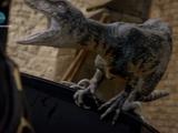 Raptor (Primeval)