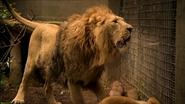 Lion-1.6