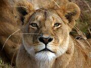 Lioness freecomputerdesktopwallpaper 1280