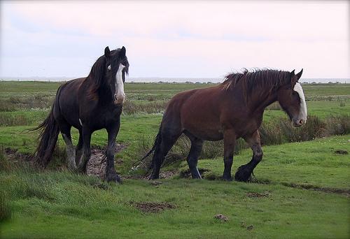 File:Shire horses on Juist.jpg