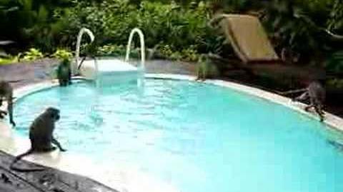 Monkeys in the Swimming Pool