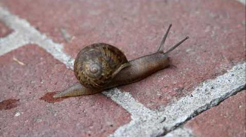 A snail moving along and leaving it's slime